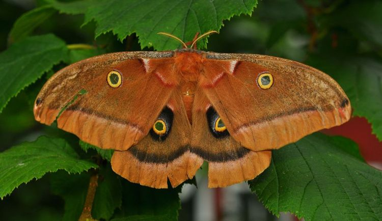 1024px-Polyphemus_Moth_(Antheraea_polyphemus)